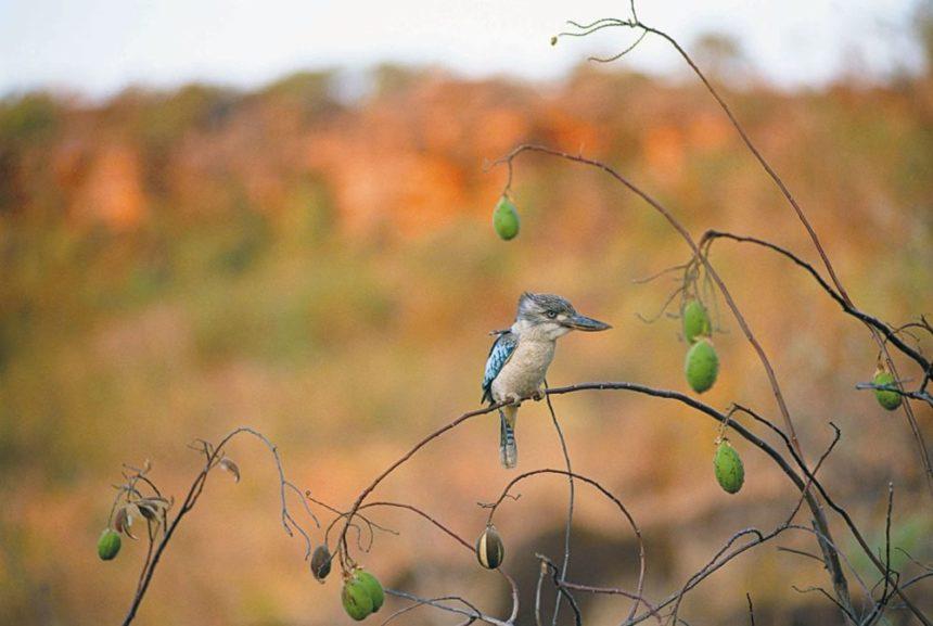 aus-country-info-kimberleys-bird