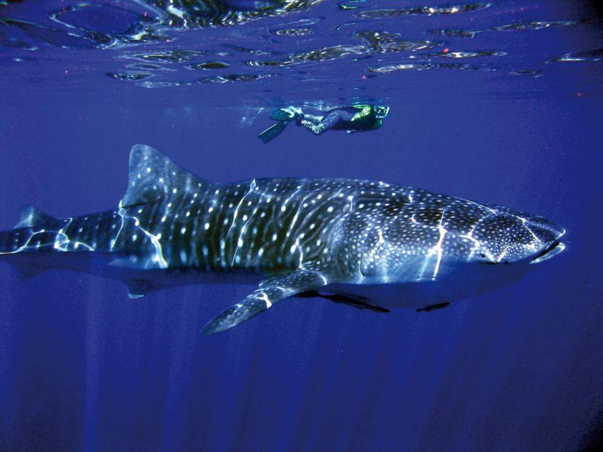 aust-country-info-whale-shark
