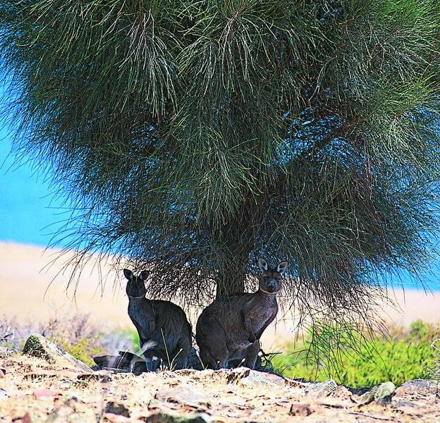 kangaroo-island-wallabies