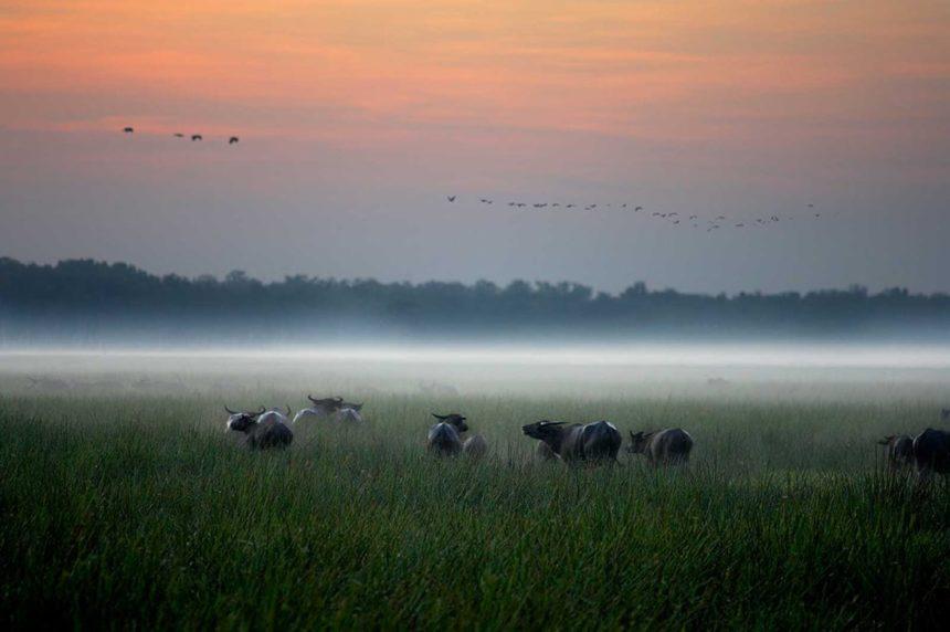 northern-territory-mary-floodplains-wet-season-bamurru-plains-buffalo-at-dusk