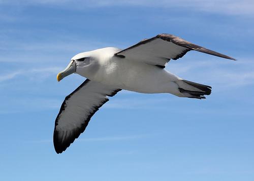 Albatross - Stewart Island