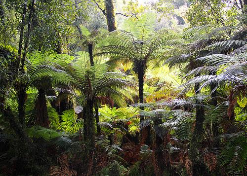 Ancient Podocarpus