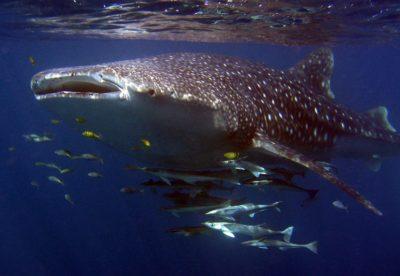 Sal Salis Whale Shark